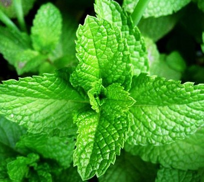 800px-Mint-leaves-2007520